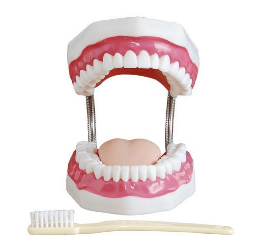牙齿保健模型