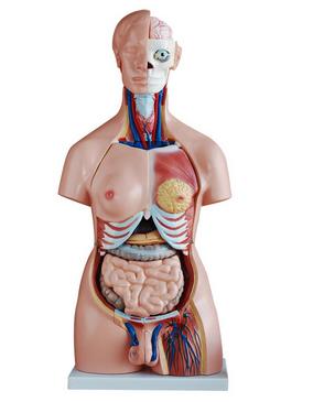 知能医学模型两性互换躯干模型(85cm 40件) BIX-A1043