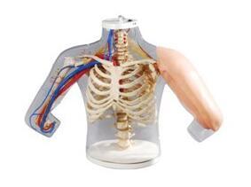 高级上臂肌肉注射及对比模型使用方法