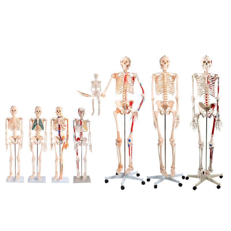 人体骨骼模型系统产品