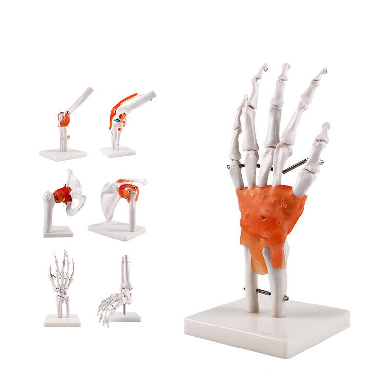 人体骨关节模型系列产品