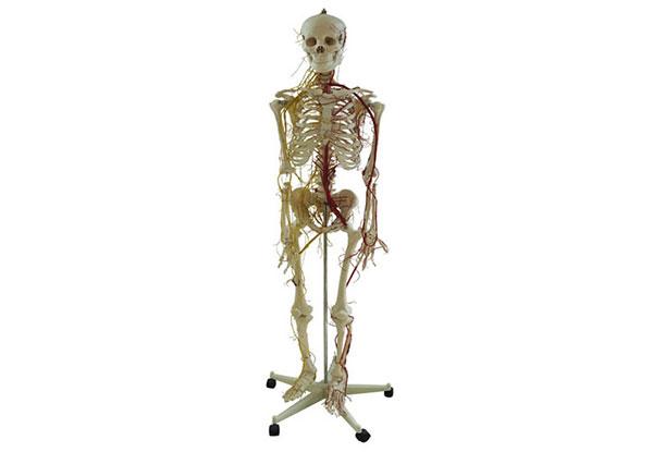 人体全身骨骼附主要动脉和神经分布模型