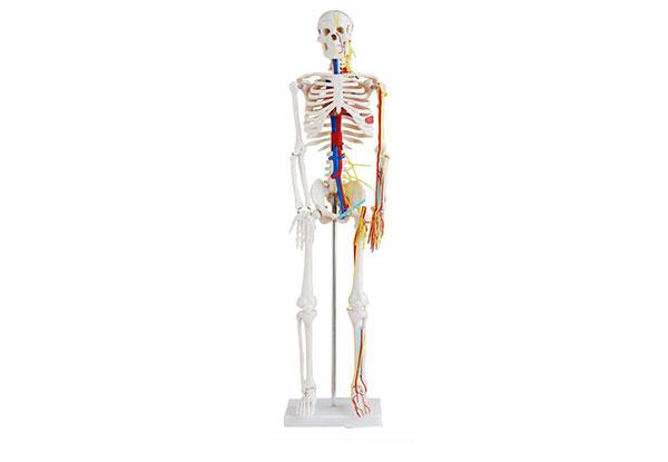 人体骨骼带心脏与血管分布模型