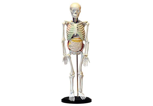 知能医学模型人体骨骼与内脏关系模型