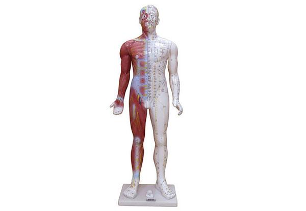 知能医学模型-人体穴位模型