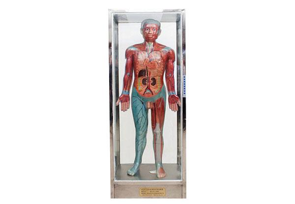 知能医学模型全身血液循环电动模型 BIX-A2121