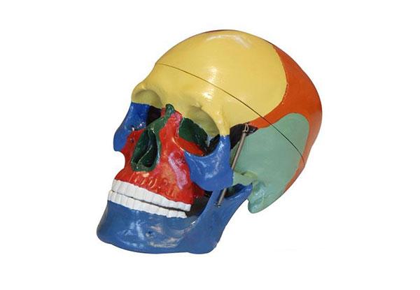 知能医学模型着色头颅骨分离模型