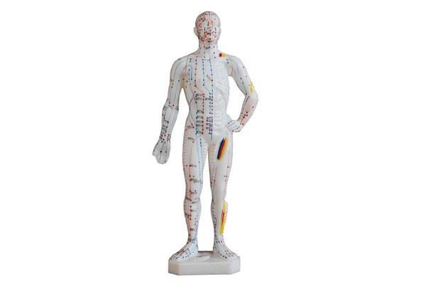 人体经络模型买男的还是女的?