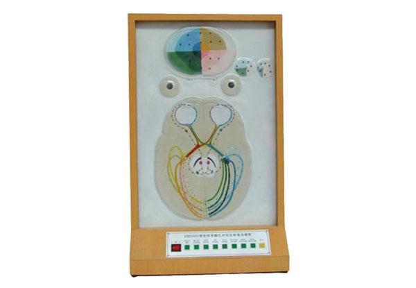知能医学模型视觉传导瞳孔对光反射电动模型