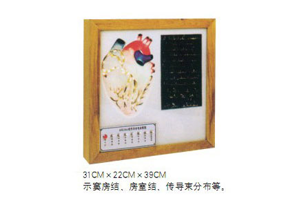 知能医学模型心脏传导系统电动模型 BIX-A2104