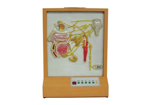 知能医学模型头面部自主神经分布电动模型 BIX-A2108