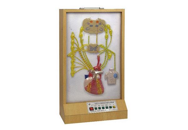 知能医学模型心脏神经支配电动模型 BIX-A2118