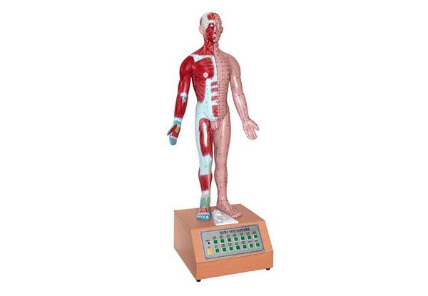知能医学模型电动十四经穴针灸模型 BIX-A2126