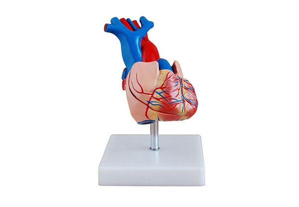 人体心脏解剖模型