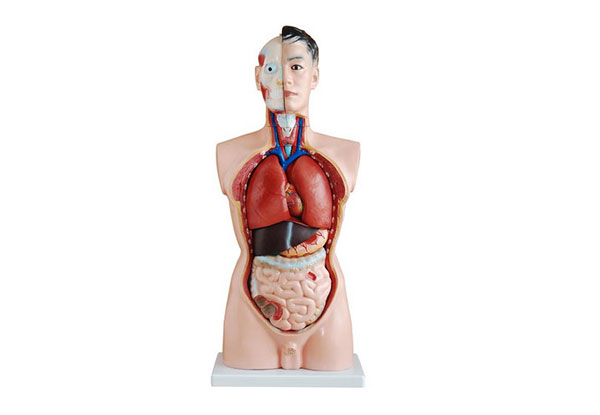 人体器官立体模型