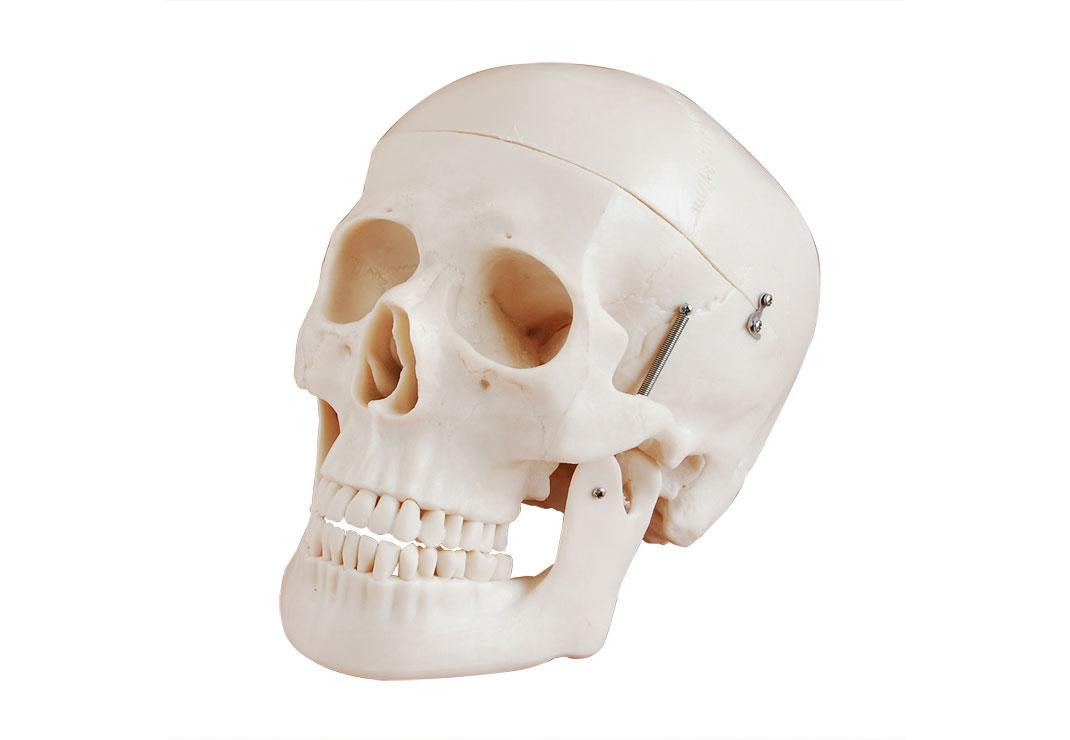 人体头颅骨骨骼模型