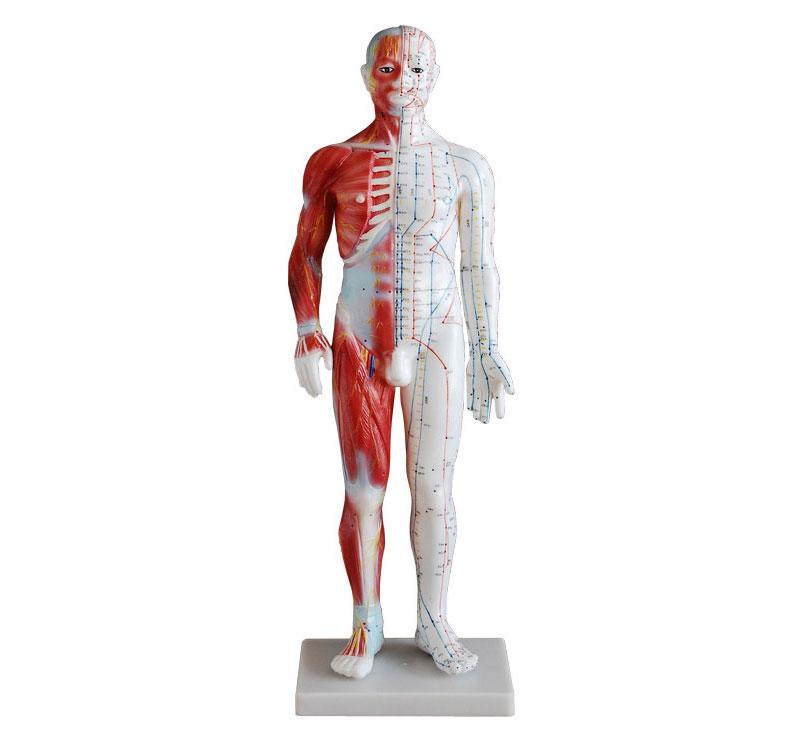 知能医学标准解剖针灸模型 BIX-Y1005