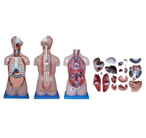 知能医学模型无性别人体躯干模型(85cm 20件) BIX-XC206