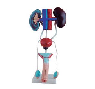 知能医学模型男性泌尿生殖系统解剖模型 BIX-A1083