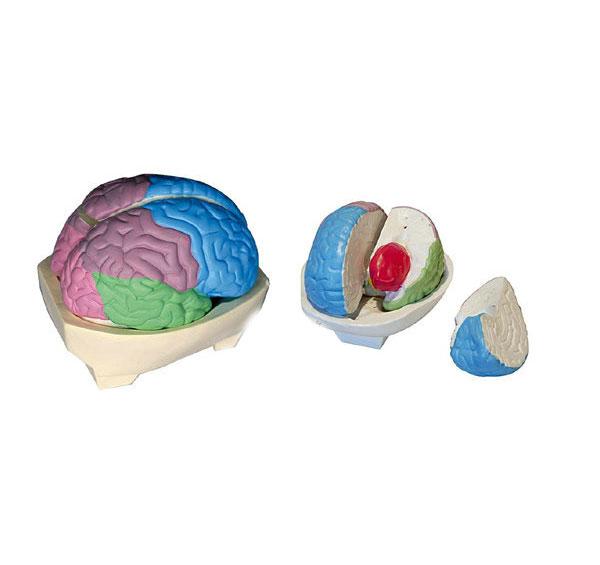 知能医学模型大脑分叶模型 BM1226