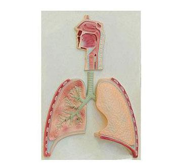 知能医学模型呼吸系统概观 BIX-BM1113