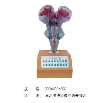 知能医学模型语音提示电动脑干模型 BIX-A1082