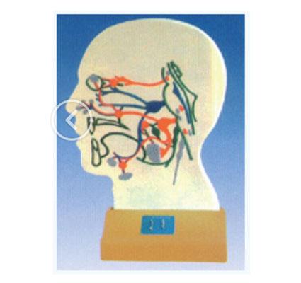 知能医学模型脑部副交感电动模型 BIX-A2110
