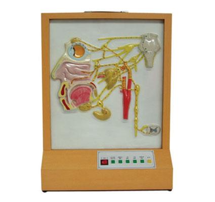 知能医学模型头面部自主神经分布电动模型 BIX-A2111