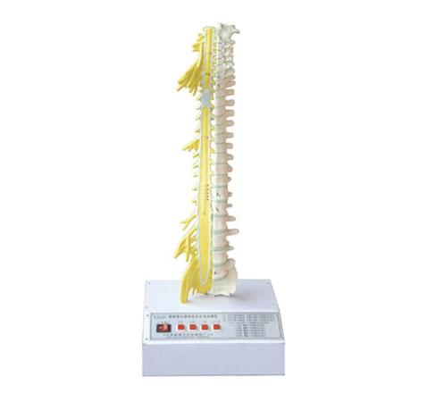 知能医学模型脊柱骨与脊神经关系电动模型