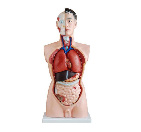 知能医学模型男性躯干模型(85cm 19件) BIX-A1040