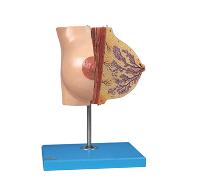 知能医学模型静止期乳房模型 BIX-1152