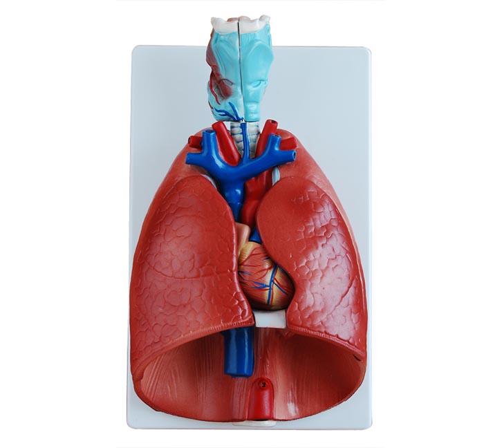 知能医学模型喉心肺模型 BIX-A1072