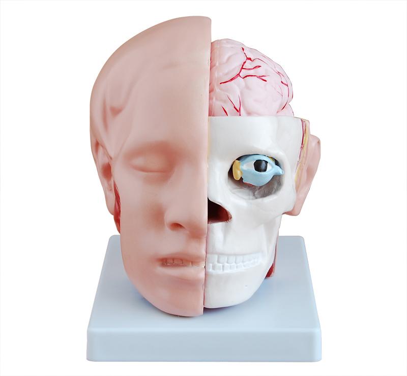 知能医学模型-头部解剖附脑动脉分布模型