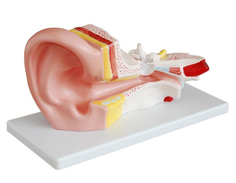 知能医学模型中耳解剖模型 BIX-A1058