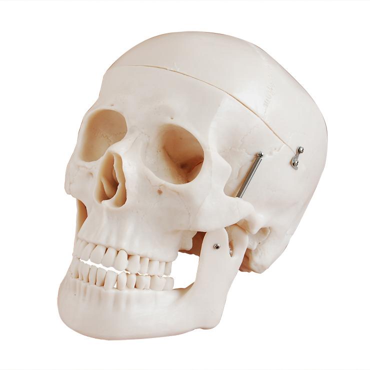 成人头骨模型产品功能测试报告