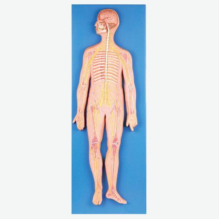 知能医学模型神经系统解剖模型 BIX-A1110