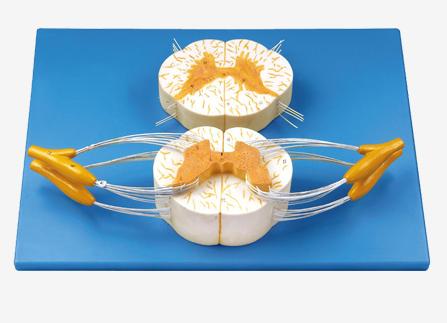 知能医学模型脊髓与脊神经分支放大模型 BM1207