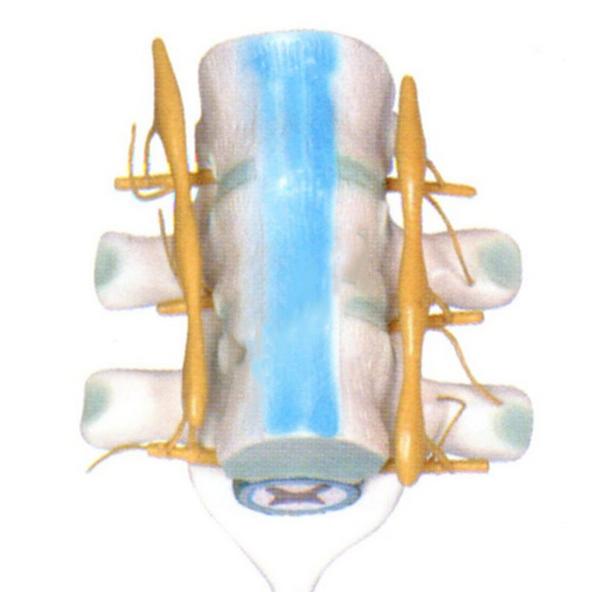 知能医学模型脊髓和脊神经模型 BM1202