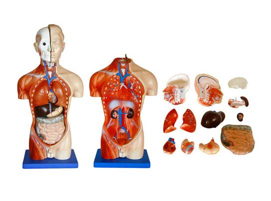 知能医学模型男性躯干模型(42cm 13件) BIX-XC202A