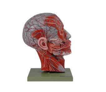 知能医学模型头部矢状切面附血管神经模型 BM18202