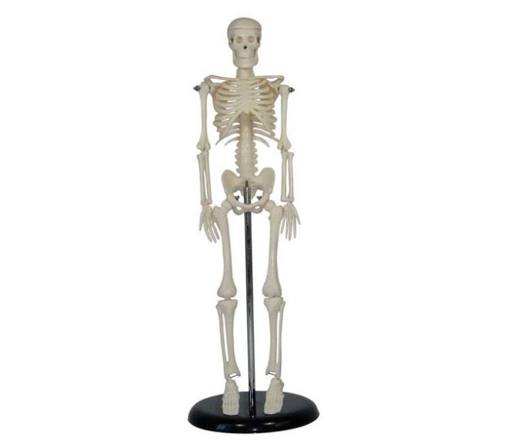 人体骨骼模型产品功能报告