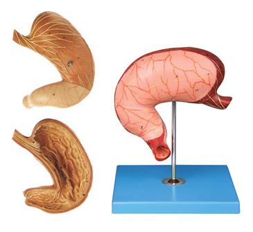 知能医学模型胃及剖面模型 BIX-BM1077