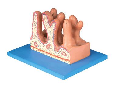 知能医学模型空肠内面放大模型 BIX-BM1086
