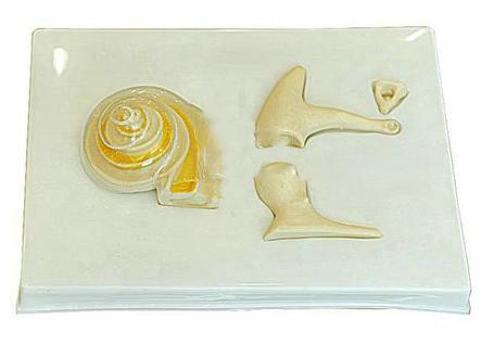 知能医学模型内耳、听小骨及骨膜放大模型 BIX-BM1187