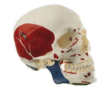 知能医学模型带肌肉头颅骨模型