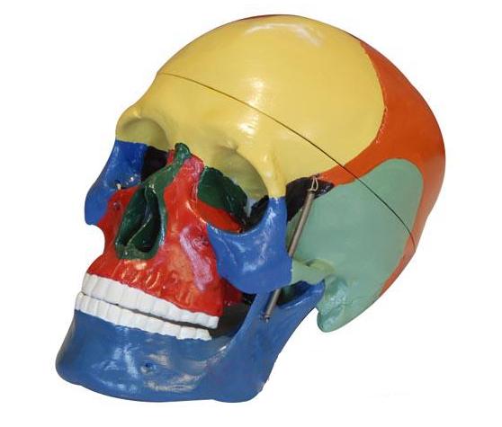 着色头颅骨分离模型产品功能测试报告