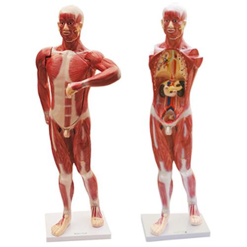 知能医学模型人体肌肉及胸腹腔脏器解剖模型 BIX-1068