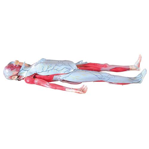知能医学模型姜式人体层次解剖模型 BIX-1066