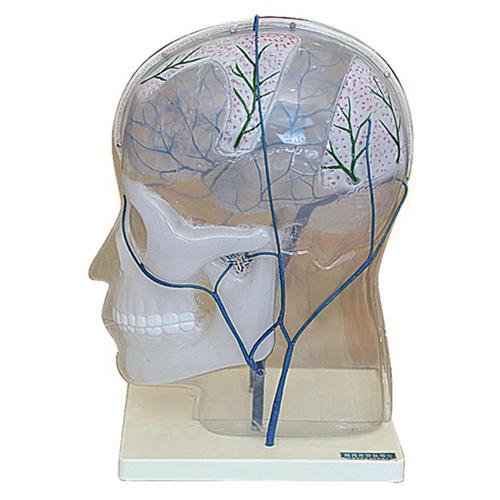 知能医学模型颅内外静脉吻合模型 BIX-1171