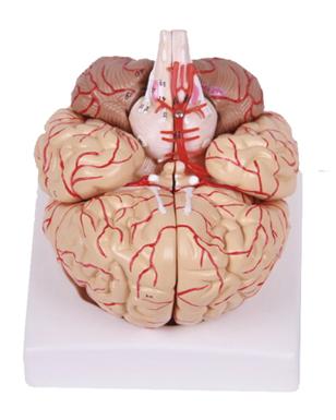 知能医学模型-脑解剖附脑动脉和神经分布模型